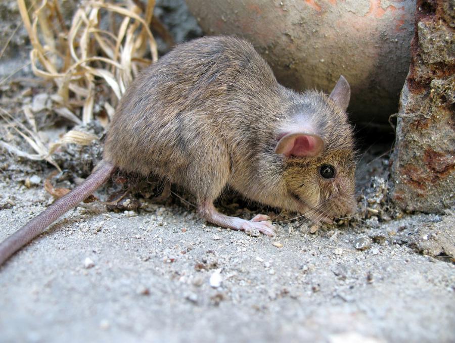 Derattizzazione, disinfestazione da topi
